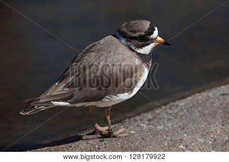 Ringed plover (Charadrius hiaticula). Wild life animal.