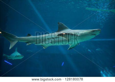 Sandbar shark (Carcharhinus plumbeus). Wild life animal.