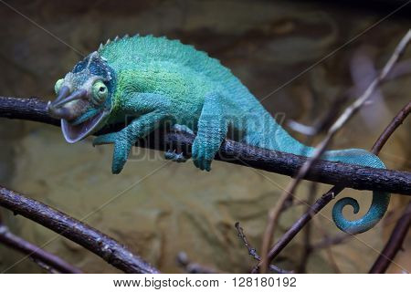 Jackson's chameleon (Trioceros jacksonii), also known as the Kikuyu three-horned chameleon.  Wild life animal.
