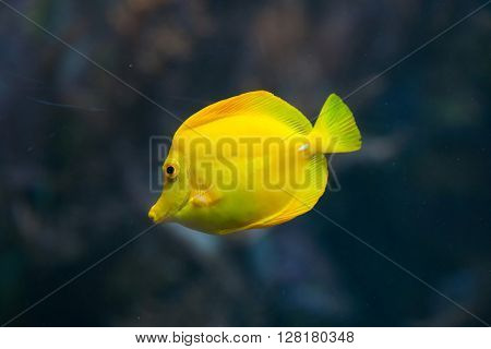 Yellow tang (Zebrasoma flavescens). Wild life animal.