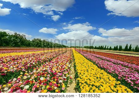 Spring flowering buttercups. Flower kibbutz on the border with the Gaza Strip. The magnificent flower carpet of colorful garden buttercups