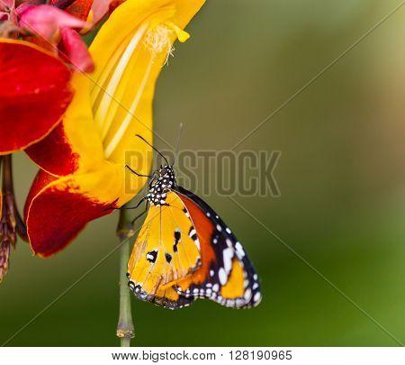 Beautiful Plain Tiger butterfly (Danaus chrysippus) perching on thumbergia mysorensis flower. Close-up.