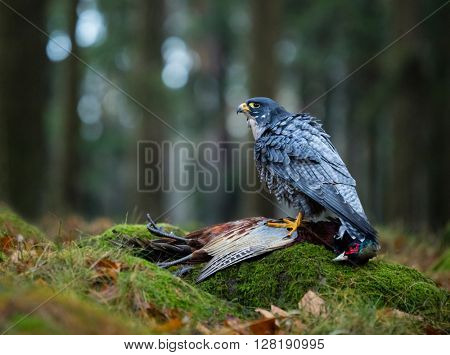 Bird of prey Peregrine Falcon (Falco peregrinus) with kill Common Pheasant on stone