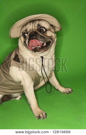 Pug dog wearing safari outfit.