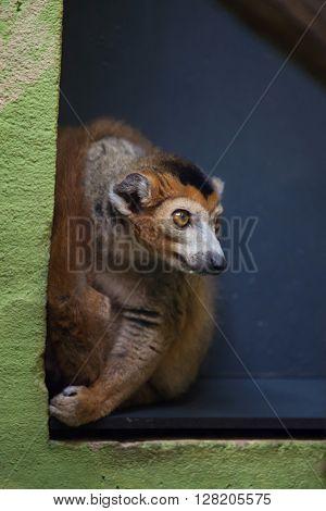 Crowned lemur (Eulemur coronatus). Wild life animal.