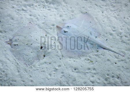Thornback ray (Raja clavata), also known as the thornback skate. Wild life animal.