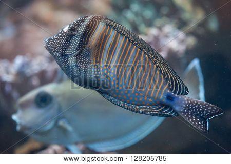 Red Sea sailfin tang (Zebrasoma desjardinii), also known as the Desjardin's sailfin tang. Wild life animal.
