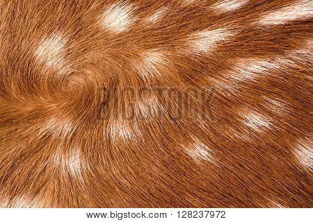 texture of real axis sika deer fur