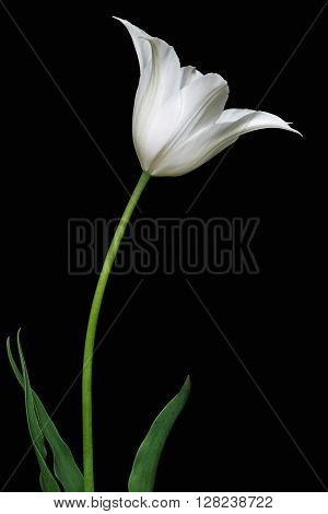 Tulip (Tulipa x gesneriana). Called Didier's Tulip and Garden Tulip also.Image of white flower isolated on black background