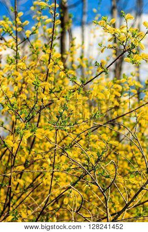 Willow Branch At Spring Season At Russia