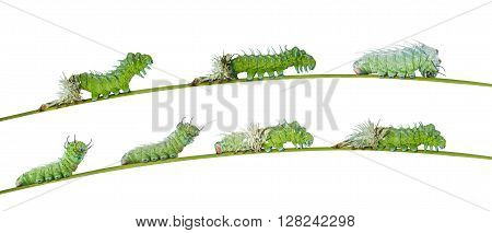 Isolated molting caterpillar of Atlas butterfly with clipping path