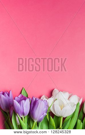 Beautiful purple and white tulips on gradient pink background with copy space