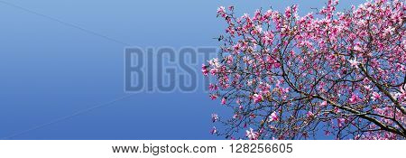 Spring flowers blooming on magnolia tree against blue sky background in Central Park New York City