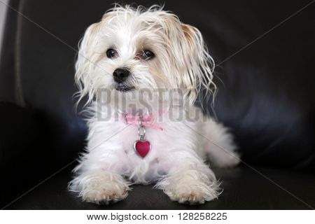 Maltese Yorkie mix also known as a Morkie puppy