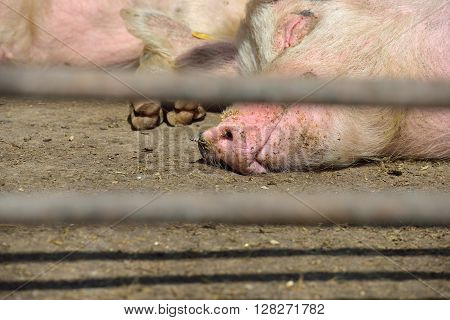 Two Young Pigs Lay In A Metal Cage At A Farm