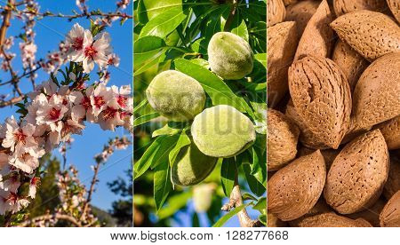 From flower to nuts. Growth of almond.  Almond tree at blossom, branch with green nuts and ripe almonds.