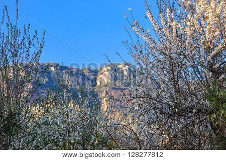 Wild Almond Thicket In Blossom.