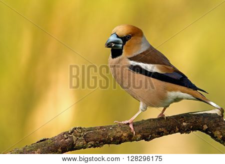 Hawfinch (Coccothraustes coccothraustes) sitting on a branch yellow blurred background shallow depth of field. Poland spring close horizontal view. Exactly can see a large beak and plumage details