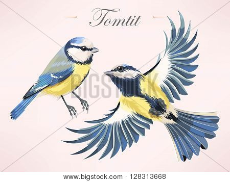 Vector illustration of high detailed colorful tomtit