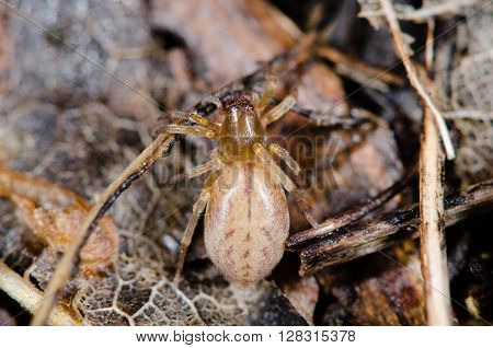 Clubiona species female spider from above. Spider in the family Clubionidae amongst leaf litter on wasteground in the UK