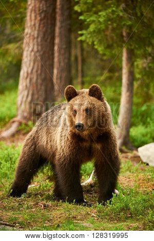 Wild brown bear walking in the green finnish taiga