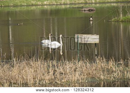A pair of Trumpeter Swans in a reflective pond.