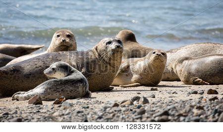 Harbor Seals - Phoca vitulina, Fitzgerald Marine Reserve, Moss Beach, California. ** Note: Soft Focus at 100%, best at smaller sizes