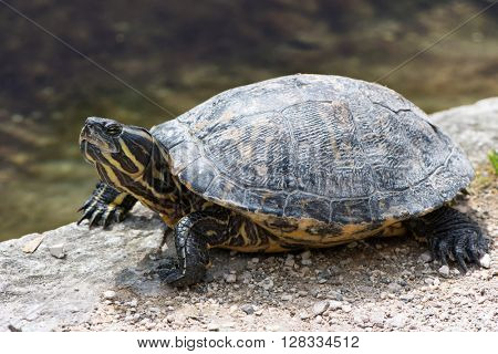 Single alert freshwater terrapin sunning on a stone wall above the calm water of a pond or lake, close up side view