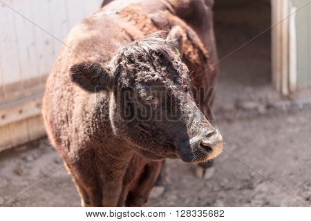 Found in Ireland, the Dexter cow Bos taurus is a rare breed and is considered miniature cattle.
