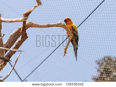Bright yellow, orange and red sun Parakeet bird Aratinga solstitialis in a tree in an aviary.