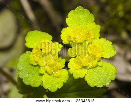 Blooming Golden Saxifrage Chrysosplenium alternifolium with bokeh background soft edges shallow DOF