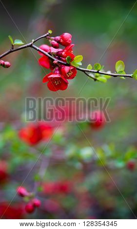 Japanese Quince Red Trail Bloom Flower Blossom