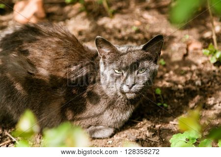 Beautiful calm grey stray cat sitting in the shadow under the bush and looking at camera in summer