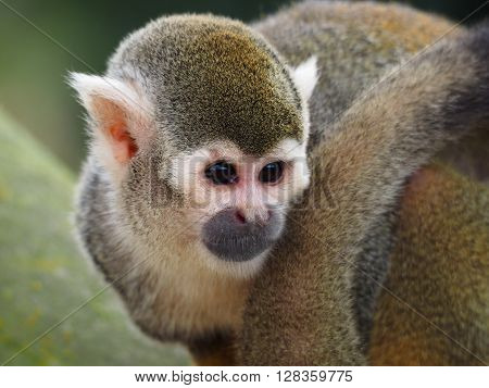 A side portrait of a Squirrel monkey