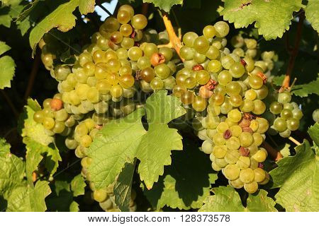 Mature green white wine grapes in a natural vineyard