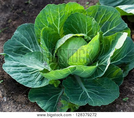 White Head Cabbage On The Field