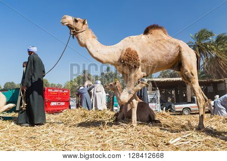 DARAW, EGYPT - FEBRUARY 6, 2016: Local camel salesmen on Camel market unloading camels from pick up trucks.