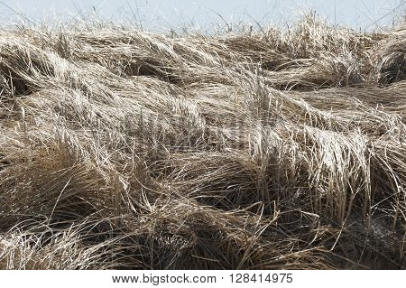 Tangle of flattened marsh grass along Cape Cod Bay