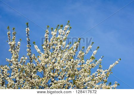 Closeup of the twigs and branches of a pure white flowering sweet cherry or Prunus avium plena tree against a bright blue sky on a sunny day in the spring season.