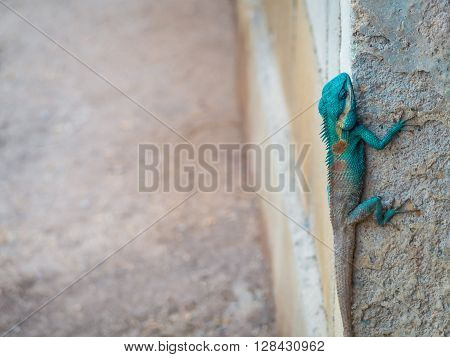 Green head lizard hung on corner of ruins wall with copy space