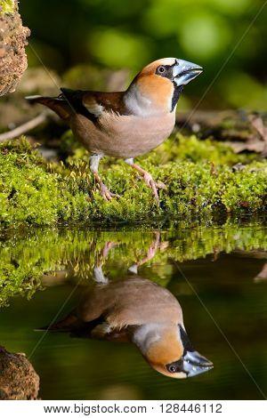 Grosbeak, brown songbird sitting in the water, in the nature of the habitat, spring nesting