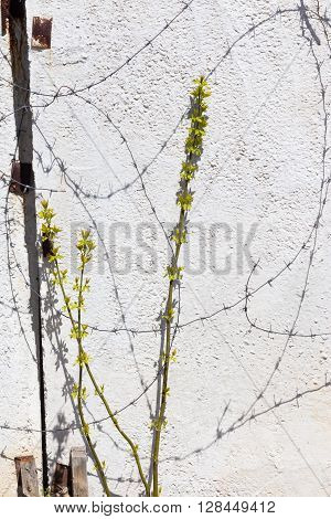The Young Shoots Of The Tree Against The Background Of A Concrete Wall Next To The Barbed Wire
