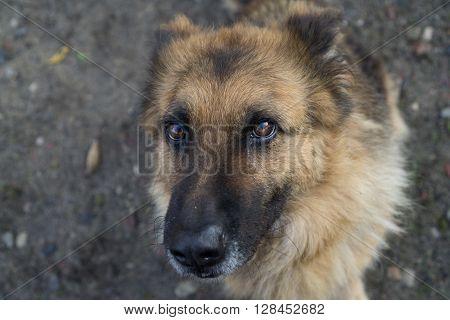 Beautiful Dog German Shepherd (Pi?kny Pies Owczarek Niemiecki) - Portret