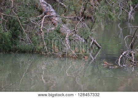 the broken large pine branch is in turbid water