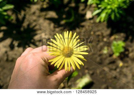 Yellow Daisy Flower In The Hand Macro