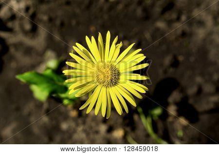 Yellow Daisy Flower In The Grass Macro