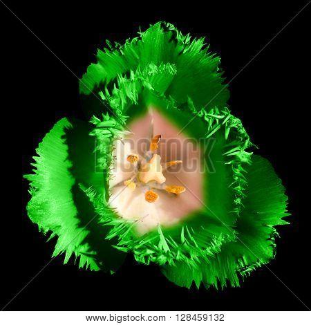 Surreal Dark Chrome Contrast Exotic Green Tulip Flower Macro Isolated On Black