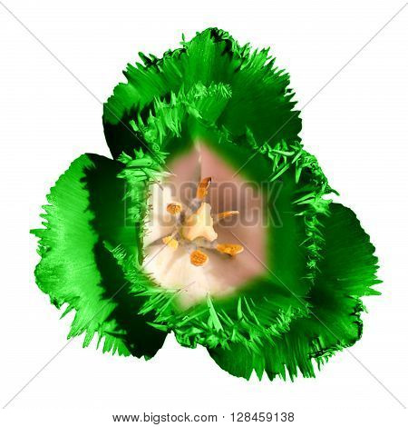 Surreal Dark Chrome Contrast Exotic Green Tulip Flower Macro Isolated On White