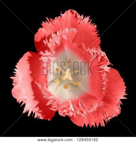 Exotic Red Tender Tulip Flower Macro Isolated On Black