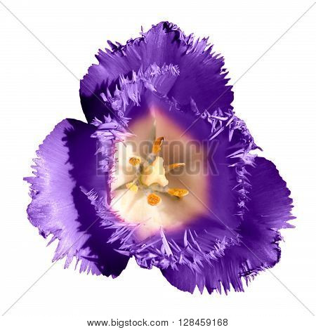 Surreal Dark Chrome Contrast Exotic Violet Tulip Flower Macro Isolated On White